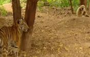 Жолбарысты жынды қылған маймыл (Видео)
