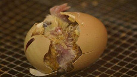 Яйцо с сюрпризом: В Актобе пенсионерка обнаружила в курином яйце цыпленка (видео)