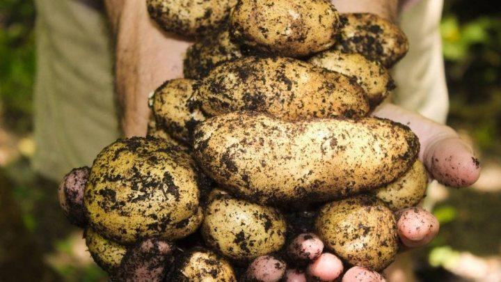 Сауда министрі картоптың қымбаттауына кінәлілерді атады