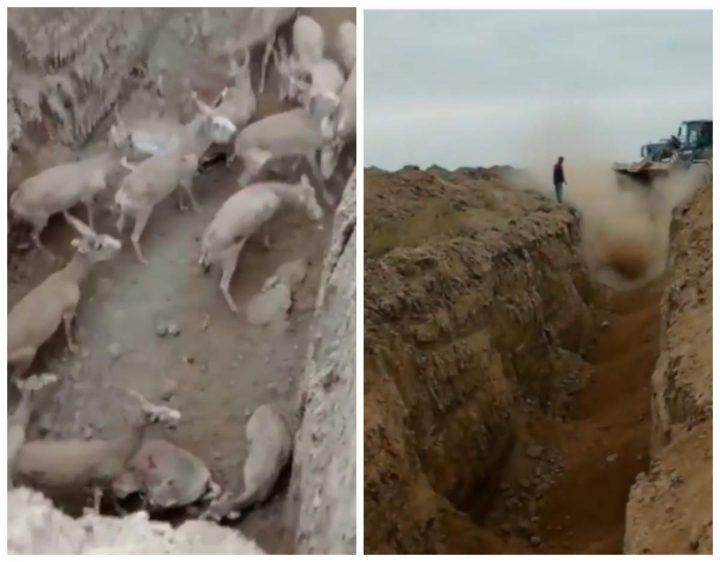 Маңғыстау облысында Ақбөкендер табыны қазылған шұңқырға түсіп қалған (Видео)